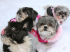 The Shih Tzu Sisters & Nigel
