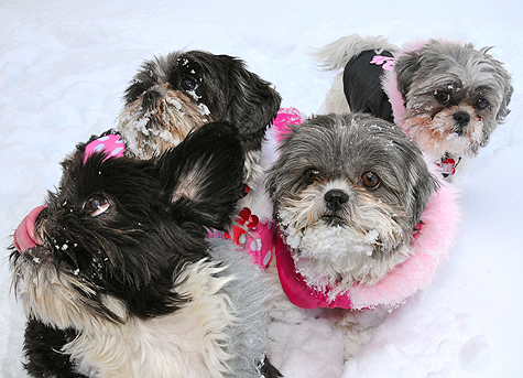 Shih-Tzu-sisters-and-Nigel